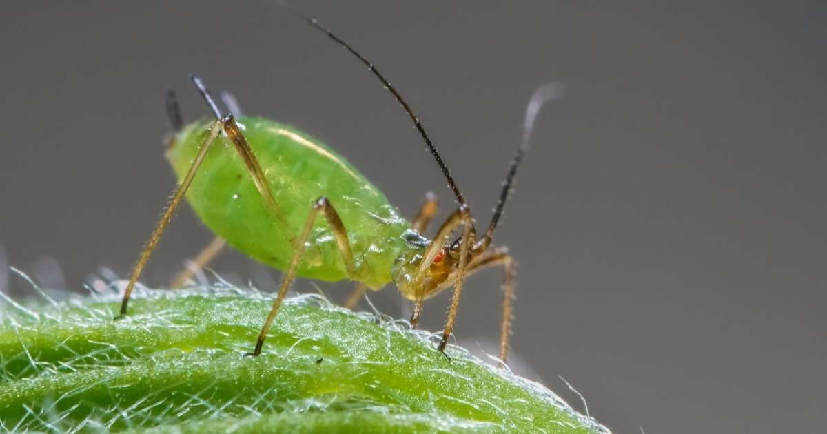 screening-insect-resistance-aphids