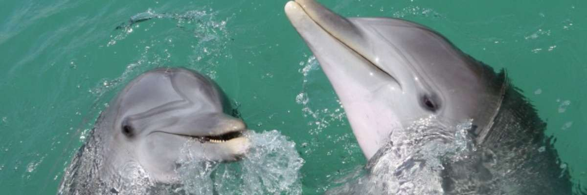 Interspecific aggression: spotted dolphins vs. bottlenose dolphins
