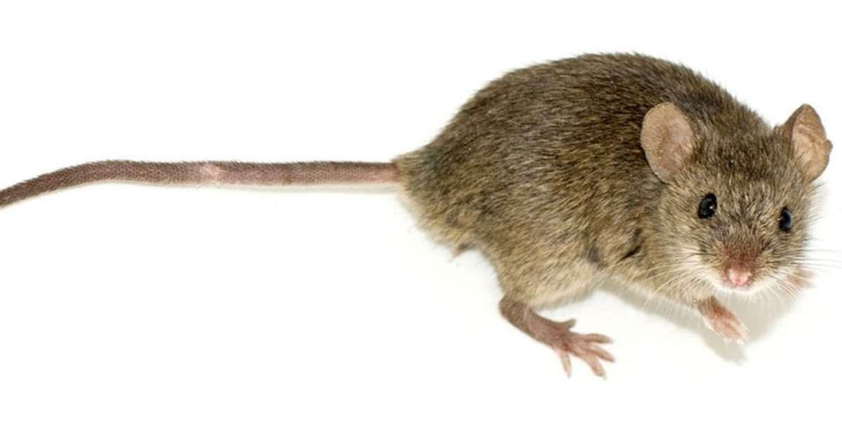 ir-backlight-rodent-behavioral-testing