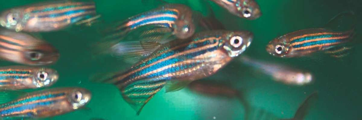 Isolated and stressed zebrafish as a model for major depression