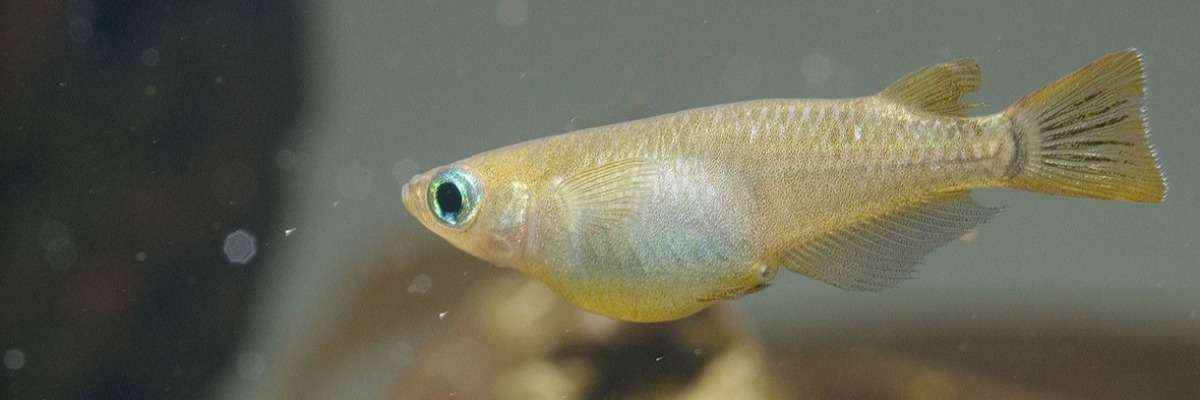A new fish on the block: Japanese medaka in toxicology studies
