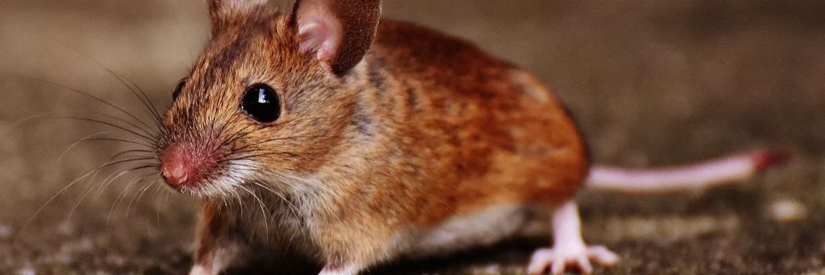 Why it doesn't seem fair to prefer male mice in behavioral studies