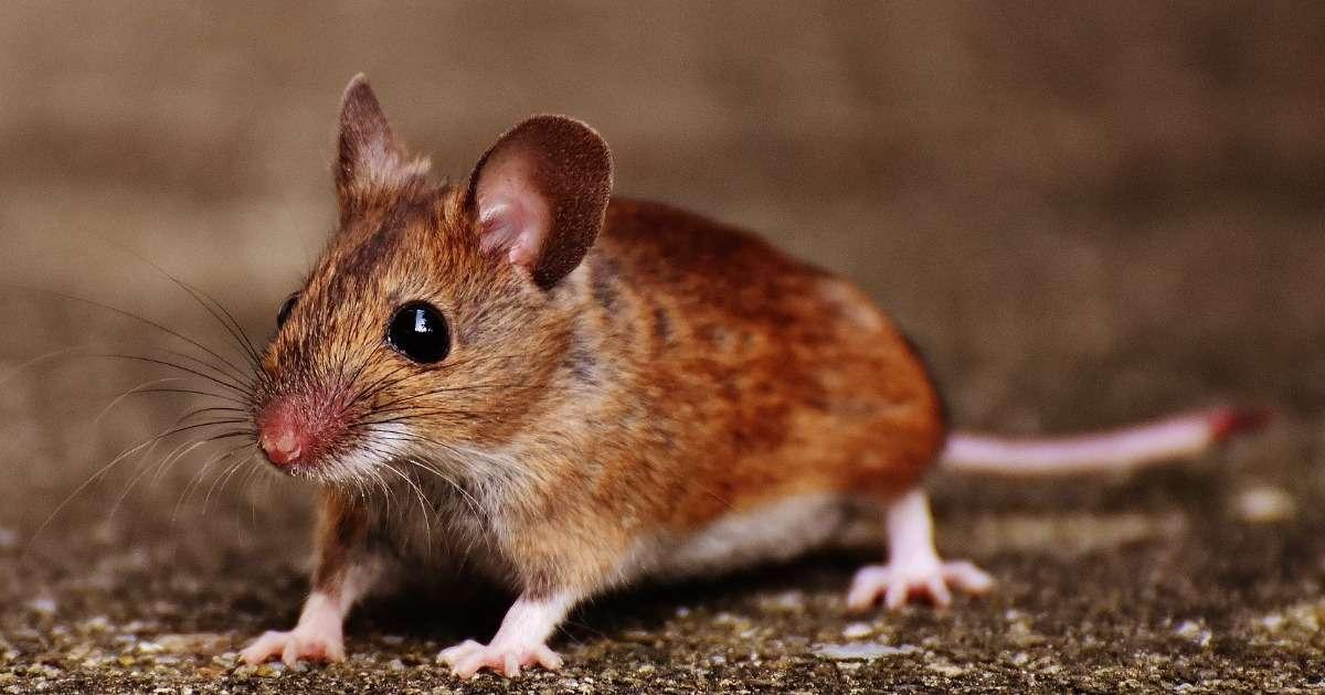 male-mice-behavioral-studies