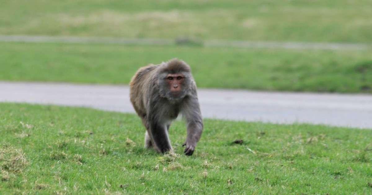 mating-behavior-rhesus-monkeys