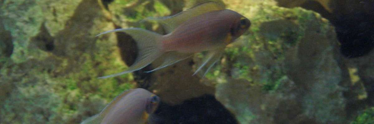 The accuracy of measuring fish aggression by using mirror tests