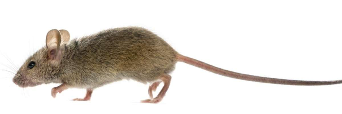 Mice walking again after a complete spinal cord crush