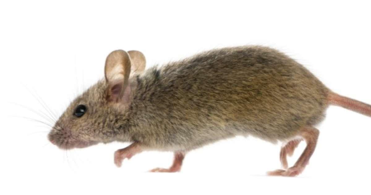 mice-spinal-cord-crush