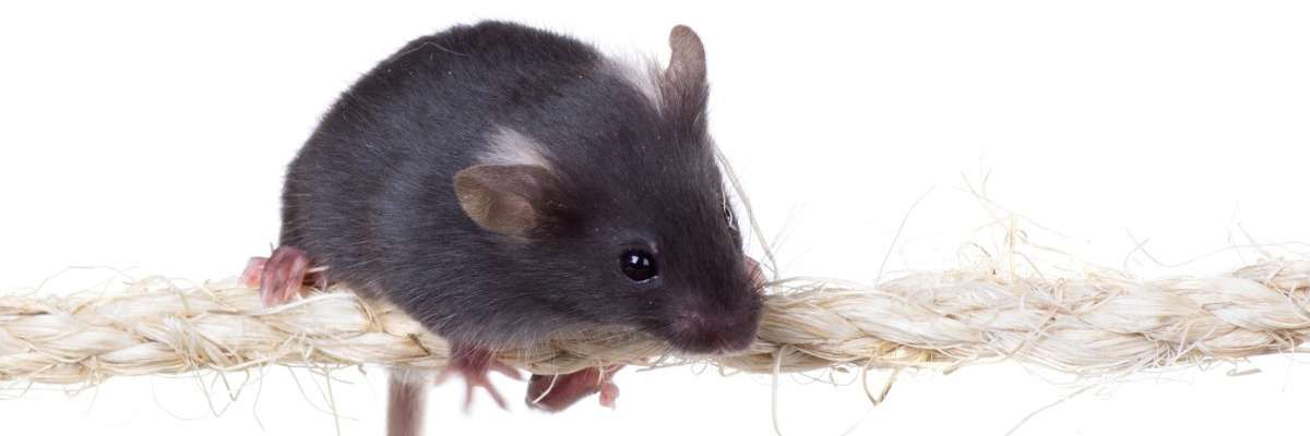 Testing motor coordination in a mouse model with muscular dystrophy