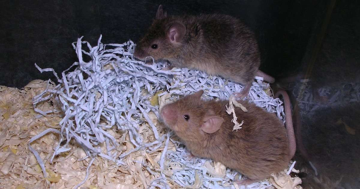 new-mice-model-sporadic-alzheimers