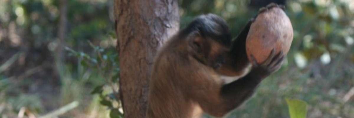 Observing monkey behavior – cracking the nut