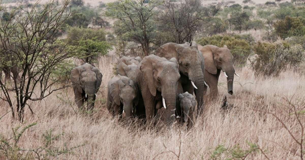 observing-wild-elephants