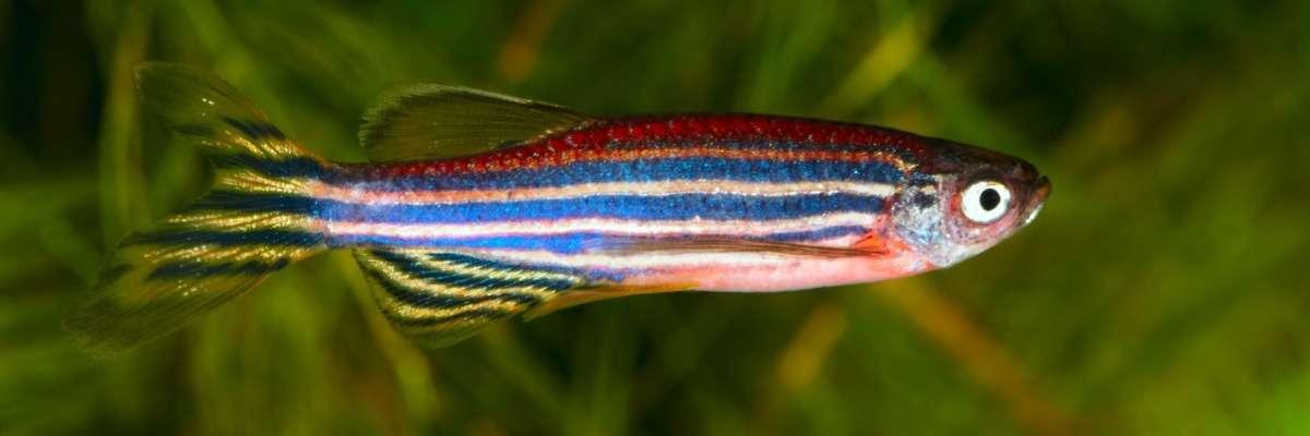 Putative neurorestorative drug for Parkinson's disease tested in zebrafish