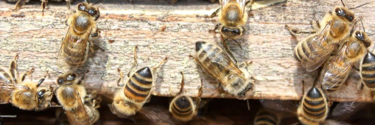 Pesticides in bee colonies affect the behavior of bees