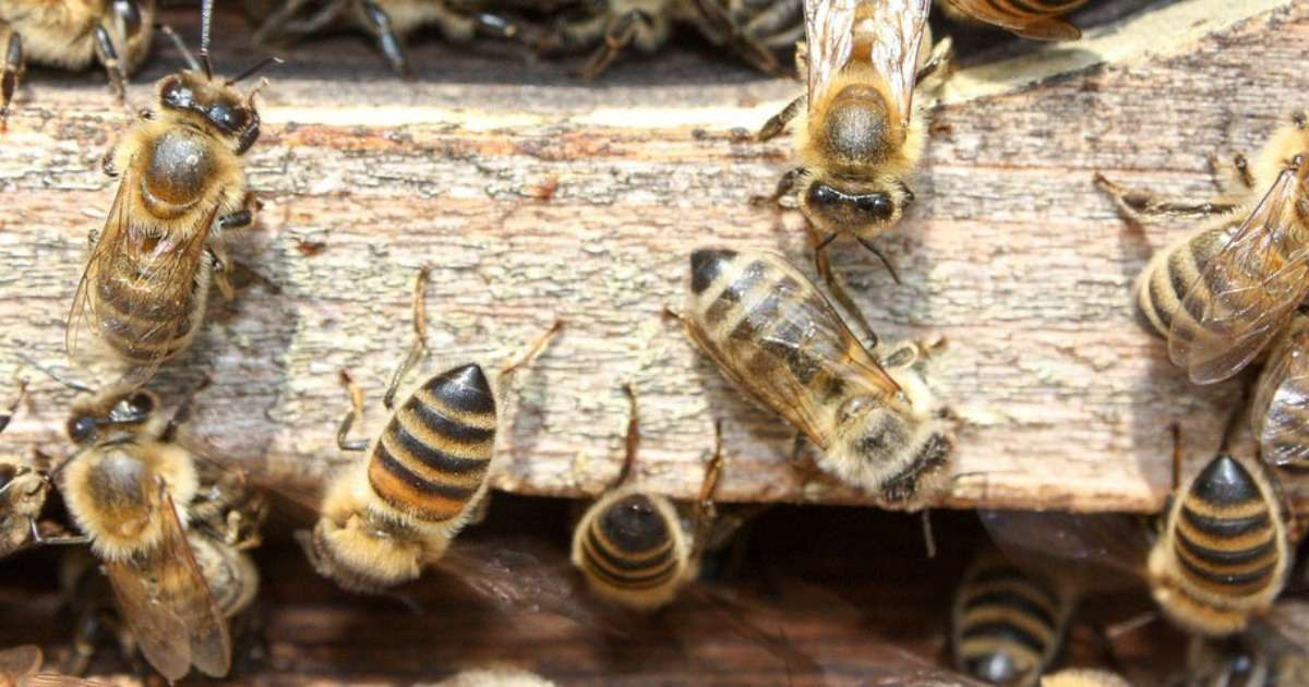 pesticides-in-bee-colonies
