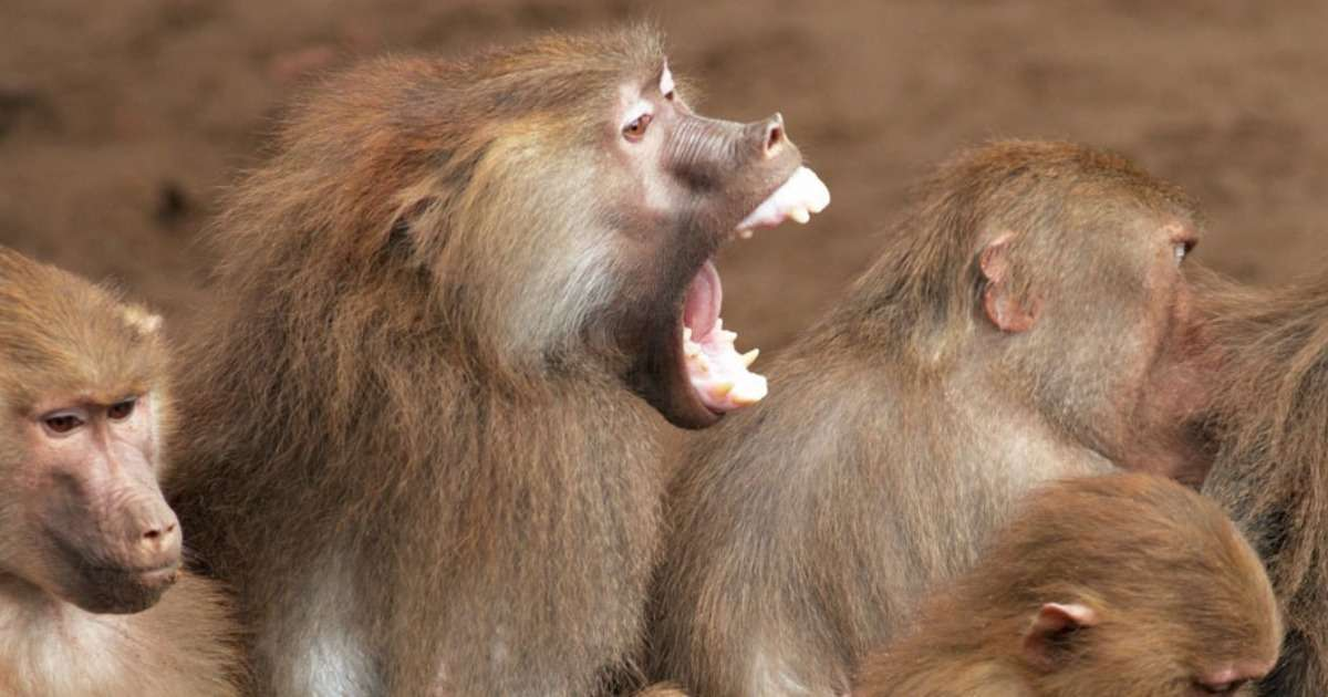 primate-behavior-mating