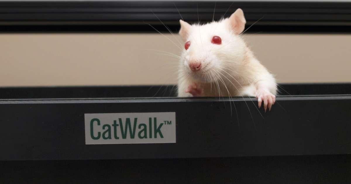 rats-run-perfectly