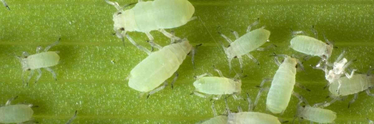 High-throughput screening of plant lines for resistance to pest insects