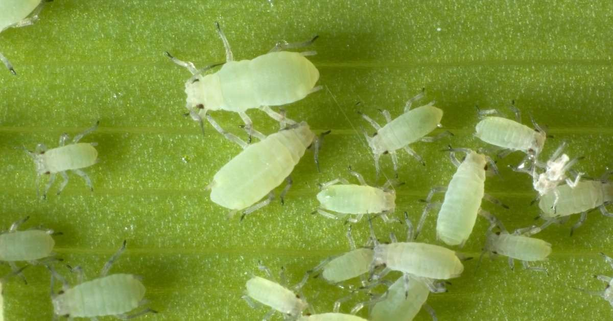 resistance-pest-insects