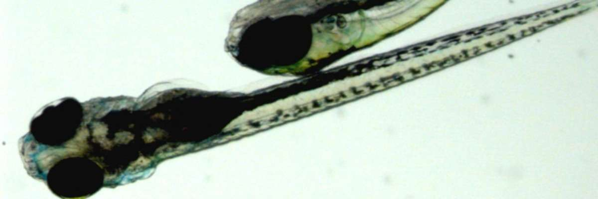 Getting robust results: one zebrafish is not like the other
