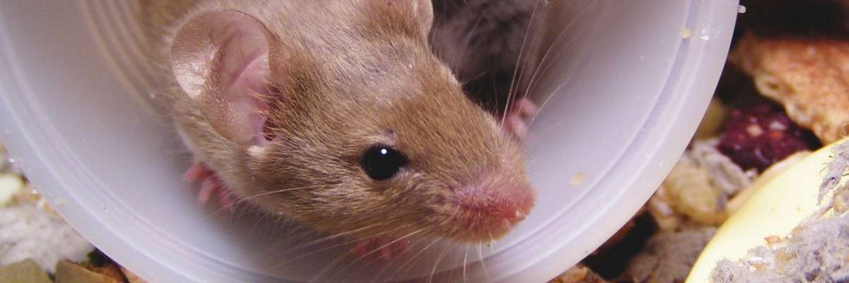 Serotonin and social skills: how adult mice differ from juveniles