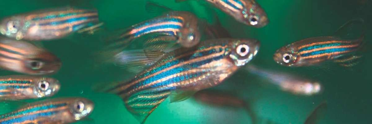 Sex preference and other social aspects of zebrafish behavior