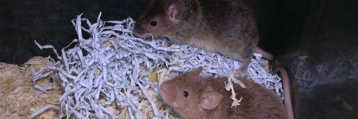 How to measure the social behavior of Fragile X mice