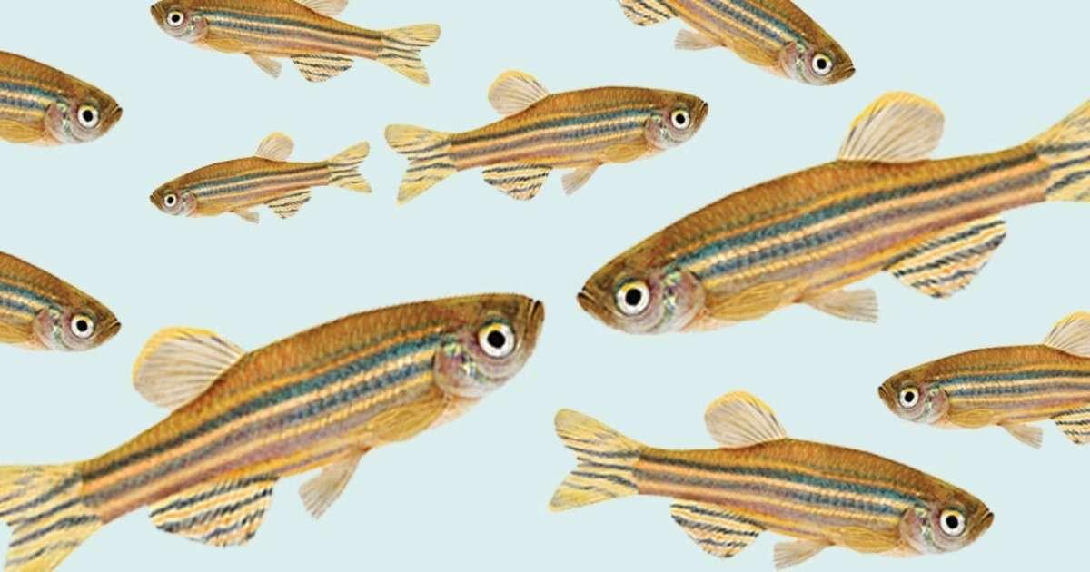 social-buffering-zebrafish