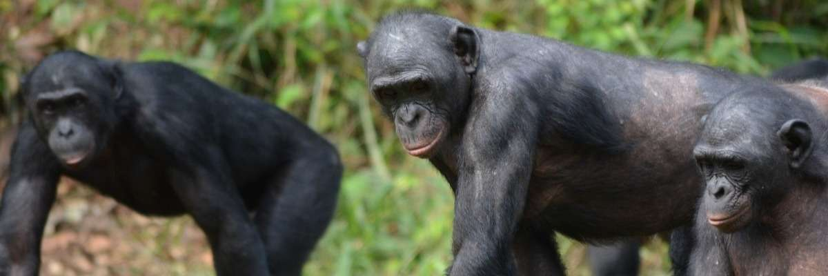 Bonobos not always as tolerant as generally believed: the plot thickens…