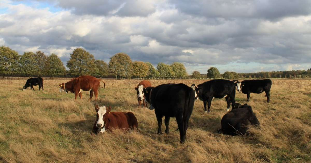 standing-cows