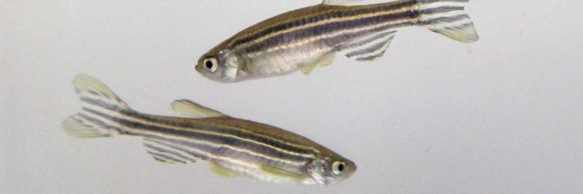Testing PCBs toxicity - behavior in zebrafish and their offspring