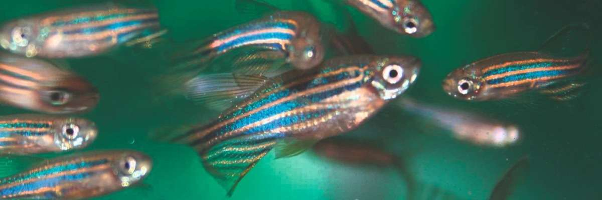 The power of zebrafish in the study on Parkinson's Disease