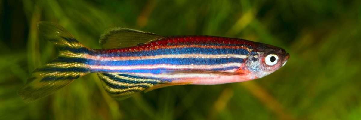 Toxicometabolism and behavior of zebrafish exposed to cannabinol