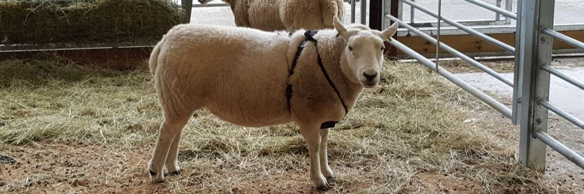 Livestock Research: Tracking sheep to learn their behavior