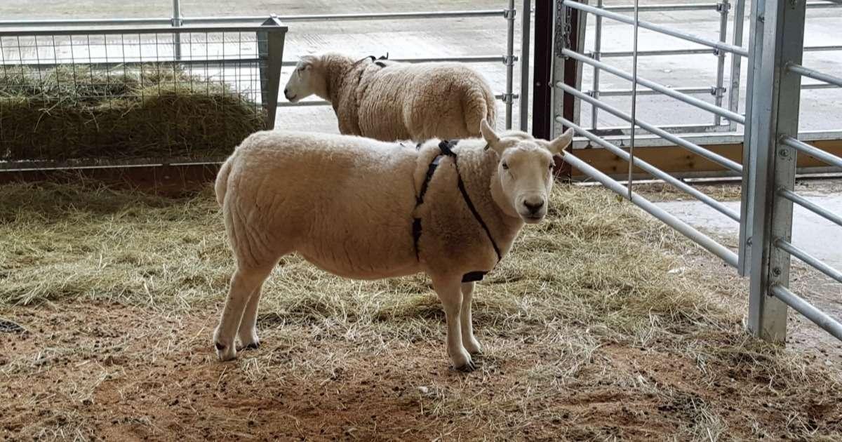 tracking-sheep