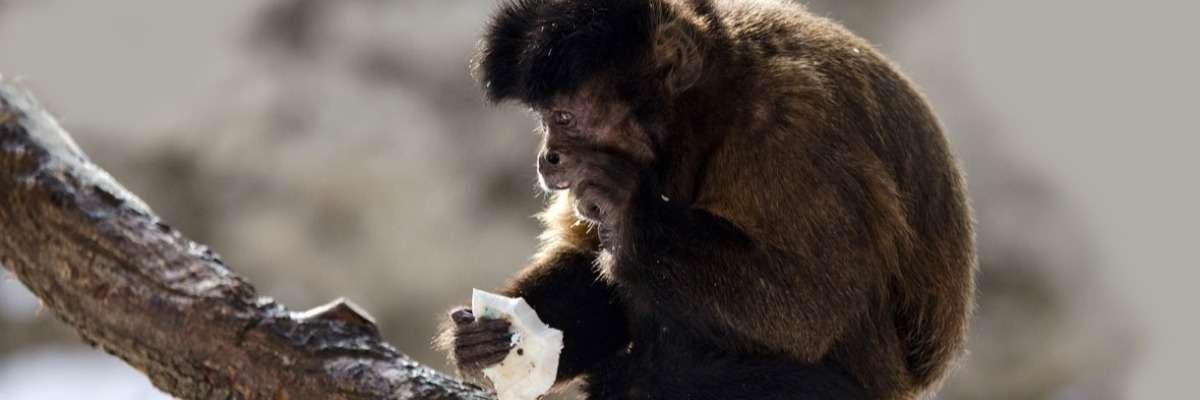 Unraveling primate behavior, why do monkeys rub their fur?