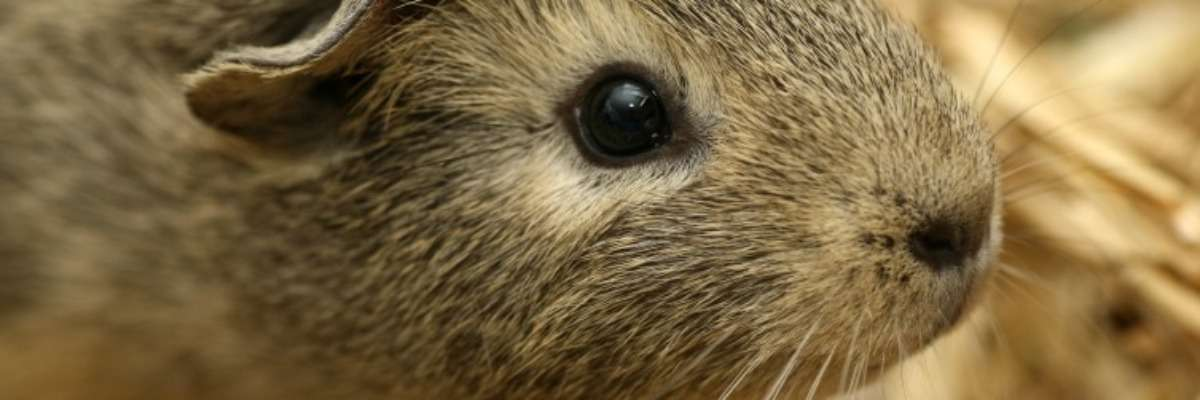 Why guinea pigs are just like us