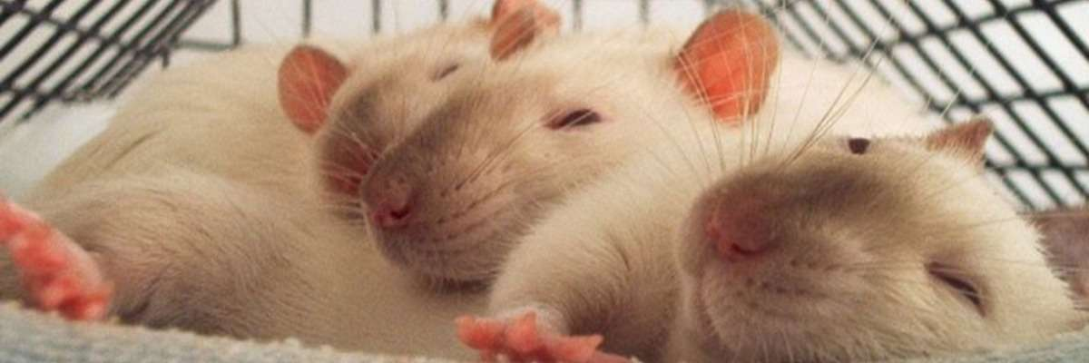 Why rats help other rats
