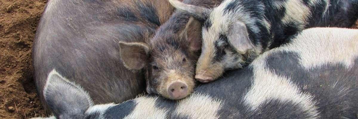 Why social pigs do better