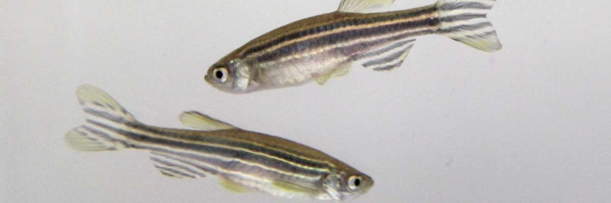 Tracking zebrafish activity to study a key element in circadian rhythmicity