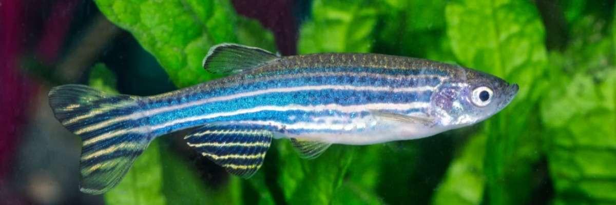 Zebrafish and withdrawal