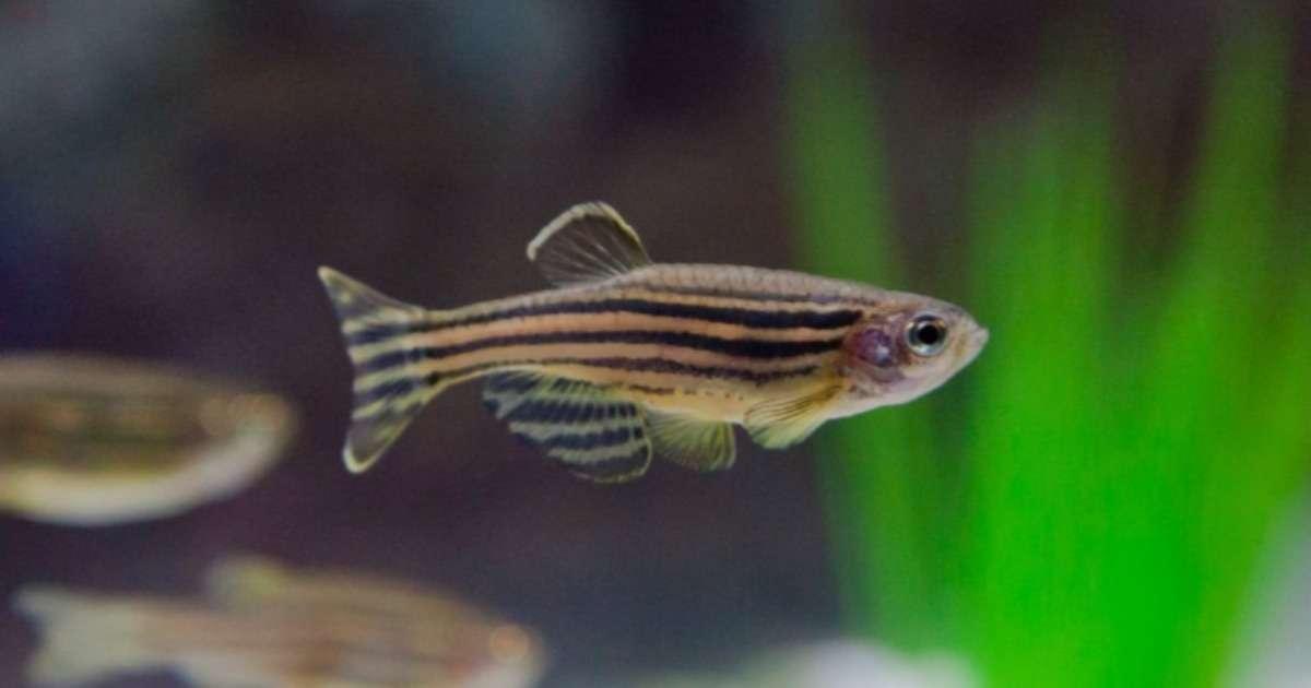 zebrafish-behavioral-differences