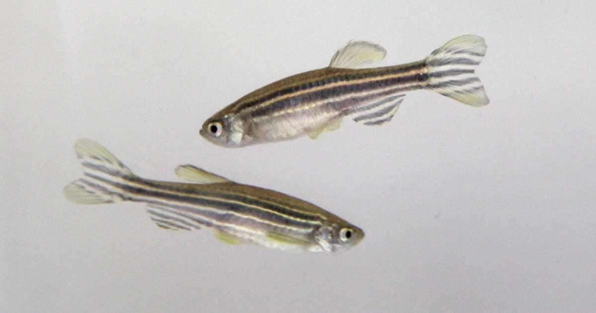 zebrafish-behavioral-research