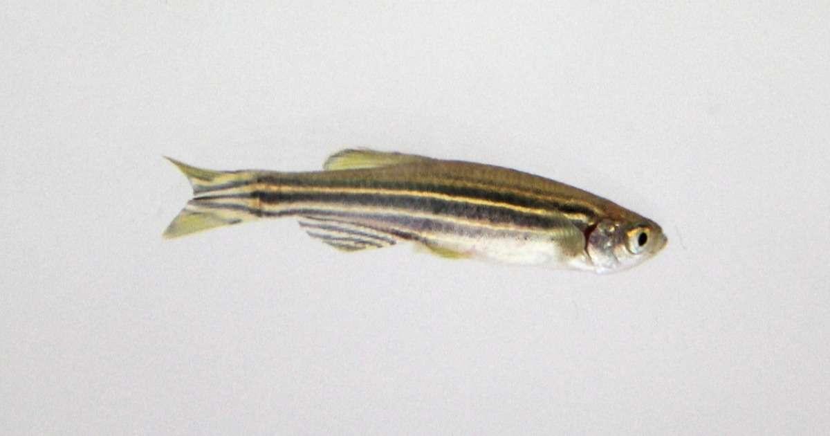 zebrafish-neurodegenerative-diseases