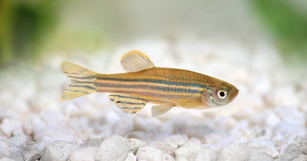 zebrafish-parkinsons-research