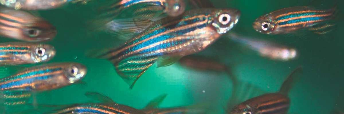 How zebrafish regenerate (and how to measure their recovery)
