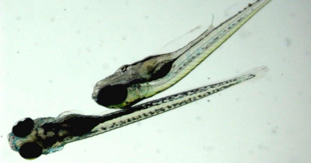 zebrafish-strain-differences